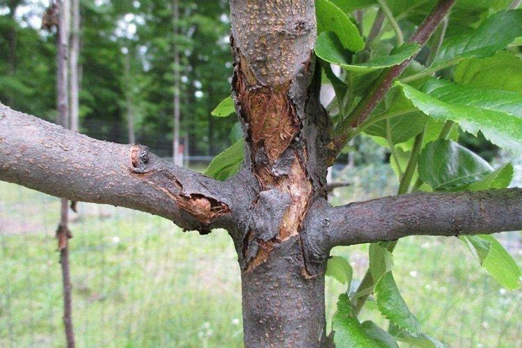 Растрескивание коры груши