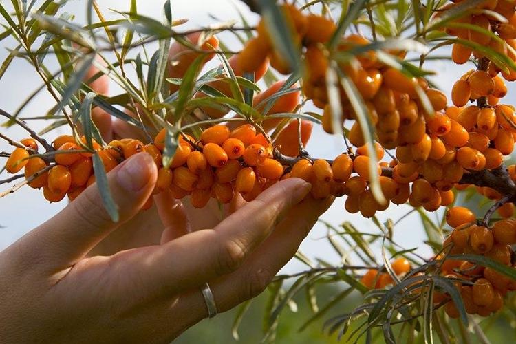 Облепиха Алтайская - сбор урожая