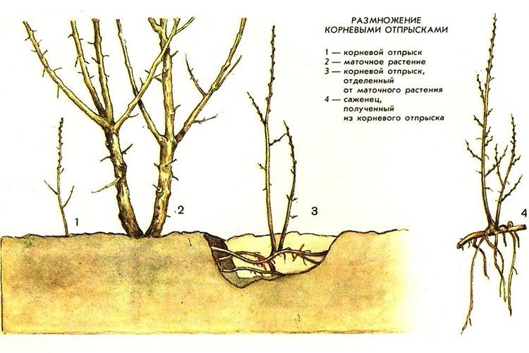 Облепиха Алтайская - размножение корневыми отпрысками