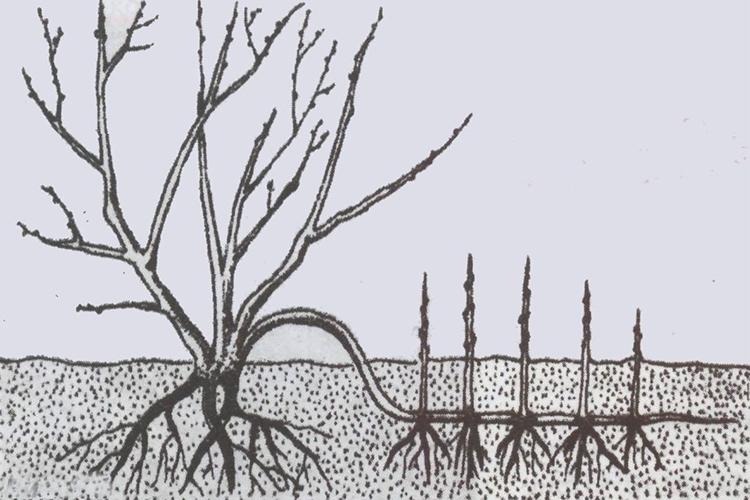 Облепиха Алтайская - размножение отводками
