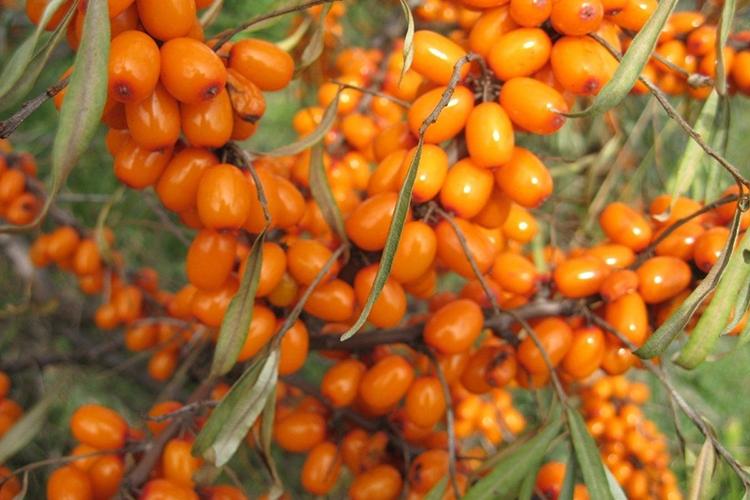 Облепиха Алтайская - ягоды