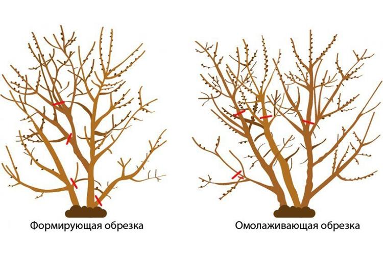Облепиха Алтайская - обрезка