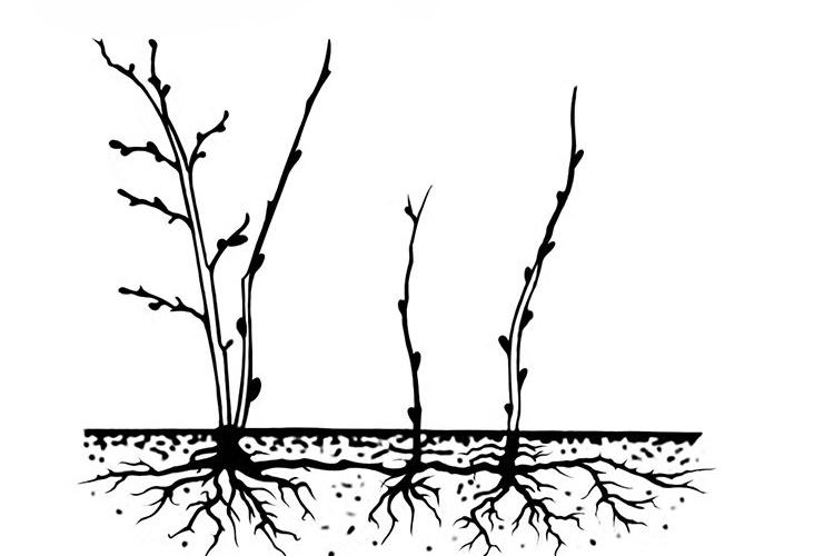 Слива Ненька - размножение отпрысками