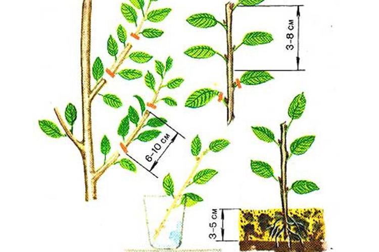 Слива Ненька - размножение зелеными черенками
