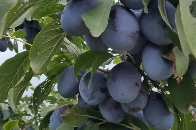 сливы Ненька - плоды