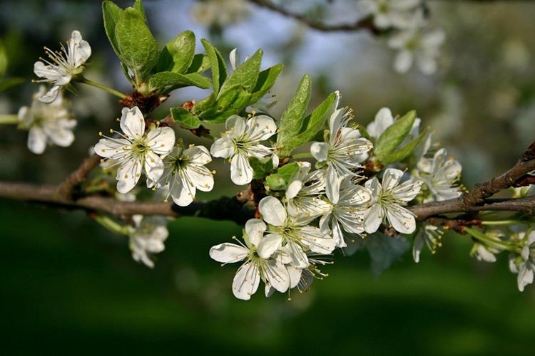 Слива Светлячок - цветы