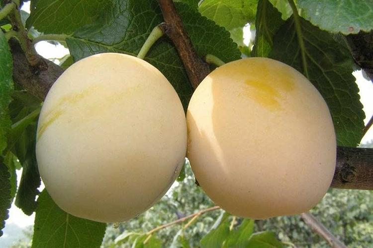 Слива Утро - плоды