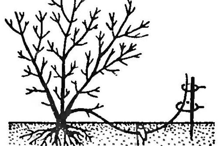 Слива Заречная ранняя - размножение отводками