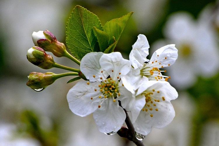 Вишня Шпанка цветет