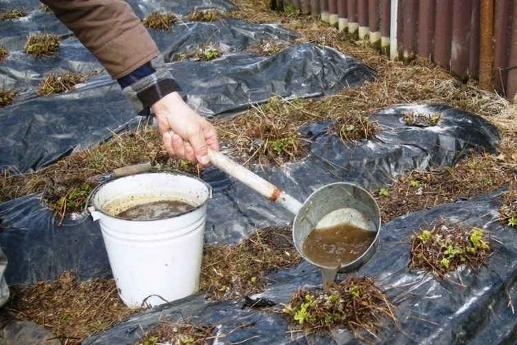 полив пометом клубники