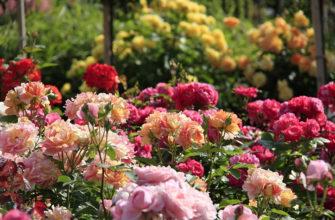 Лучшие сорта роз для выращивания в Подмосковье