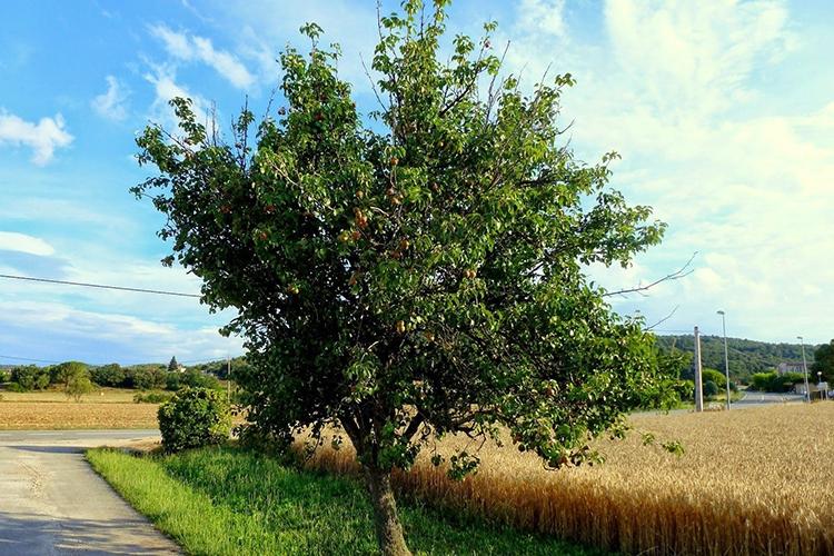 Дерево груши Бере Московская
