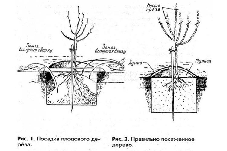 Посадка груши
