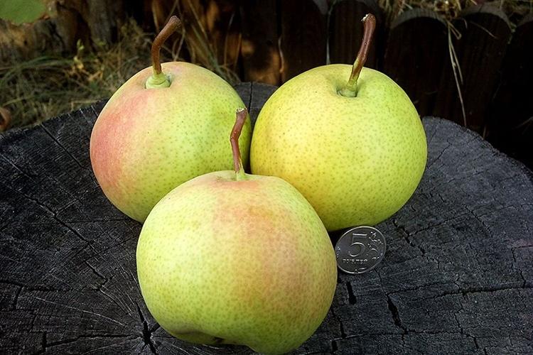 Груша Десертная Россошанская поздняя - описание плодов