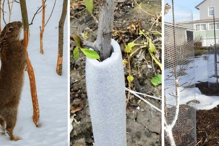 Укрытие груши Отечественная на зиму