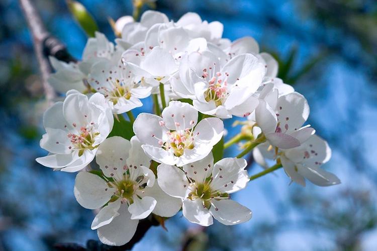 Груша Отечественная цветет
