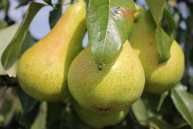 Груша Отечественная - описание плодов