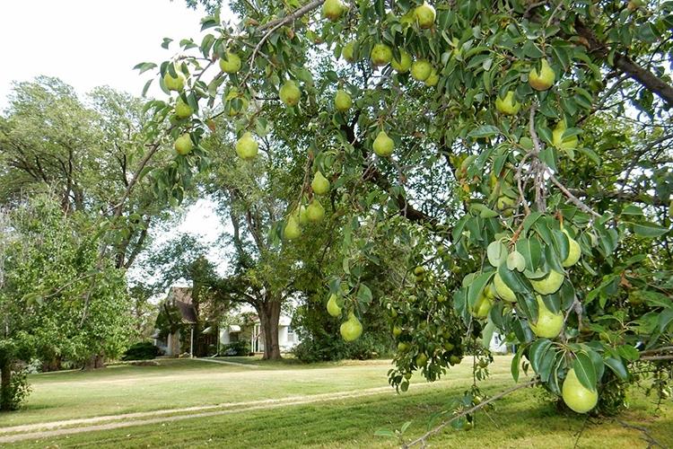 Дерево груши Первомайская