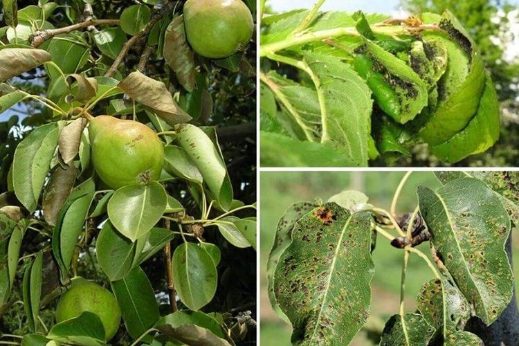 Болезни и вредители груши