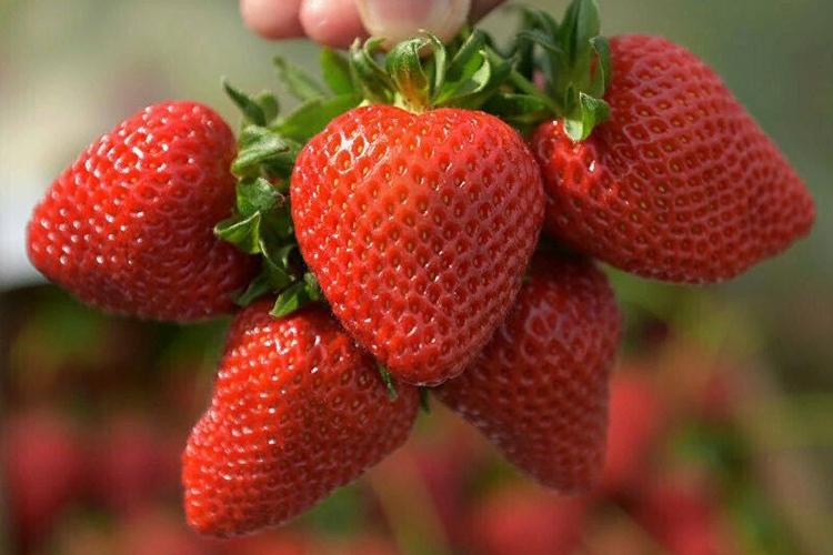 Клубника Кимберли - описание сорта, фото, отзывы садоводов