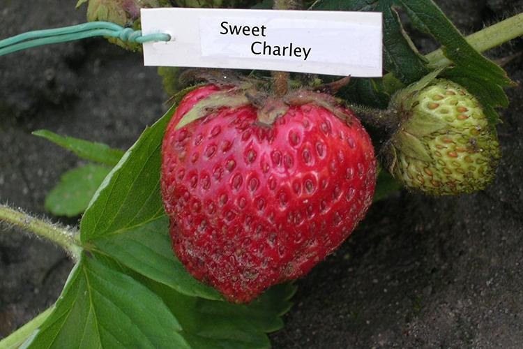 Клубника Sweet Charlie