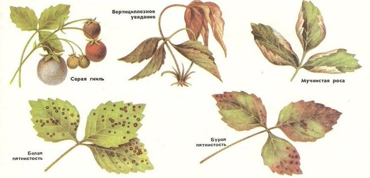Болезни и вредители клубники
