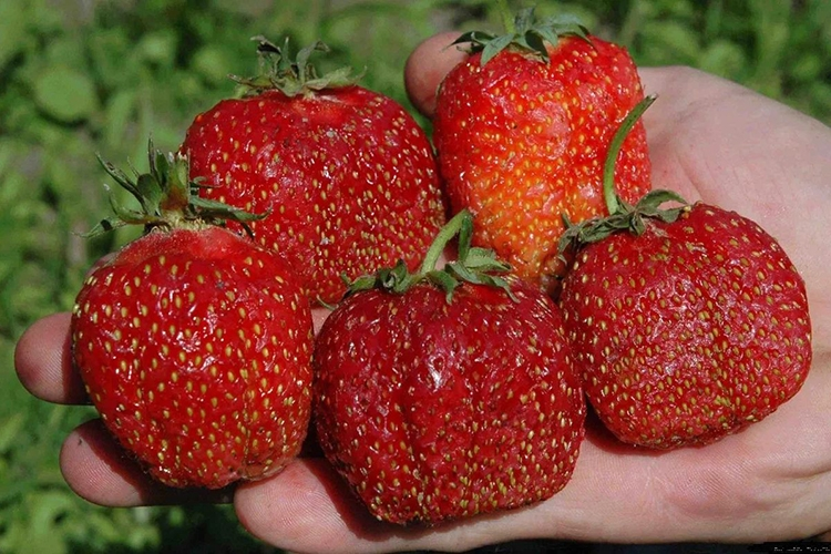 Клубника Зефир - описание плодов