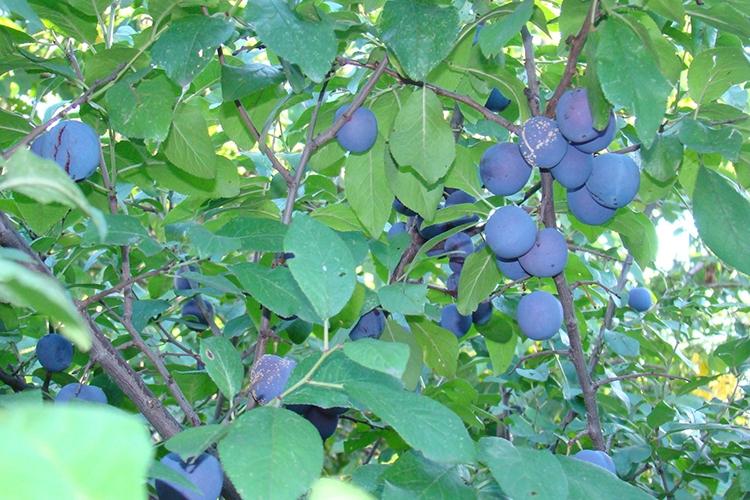 Характеристики сливы Яичная синяя