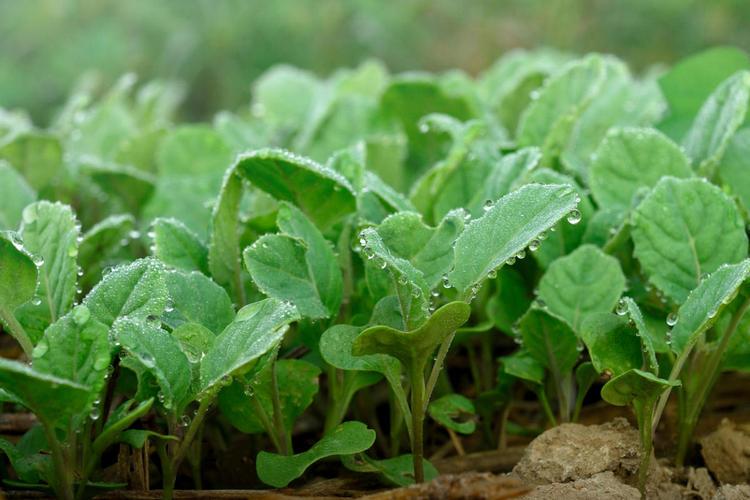 Выращивание рассады белокочанной капусты от посева до высадки