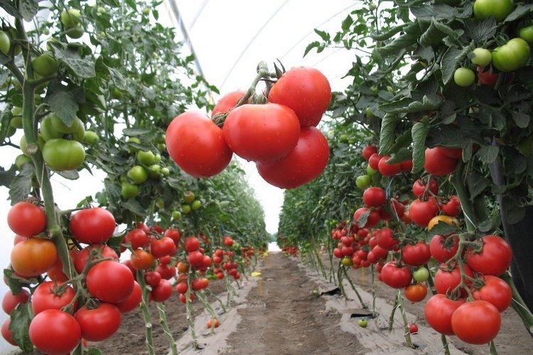 агротехника томатов в теплице