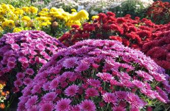 Лучшие сорта хризантем для садового участка