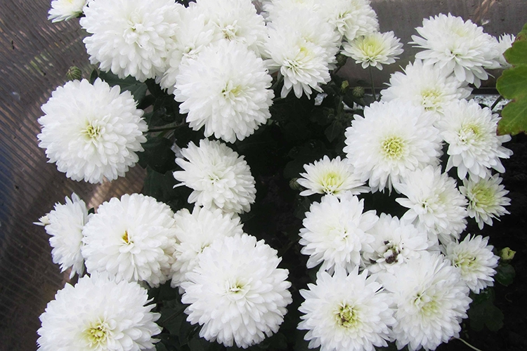 Хризантема Умка
