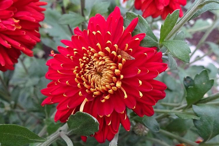 Хризантема Аврора