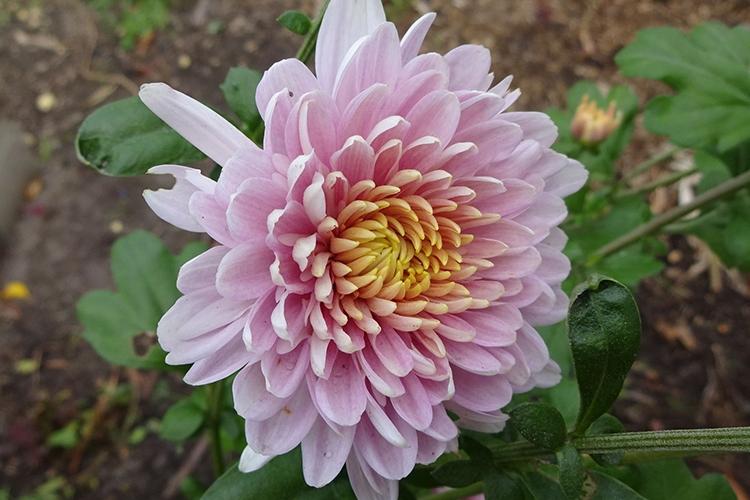 Хризантема Розовый фламинго