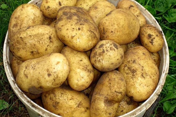 Урожайность сорта картофеля Гала