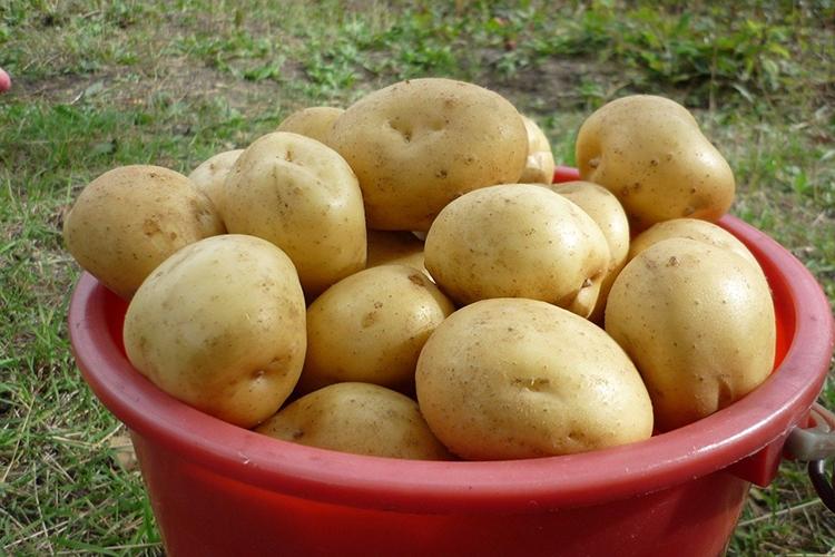 Характеристики сорта картофеля Гала