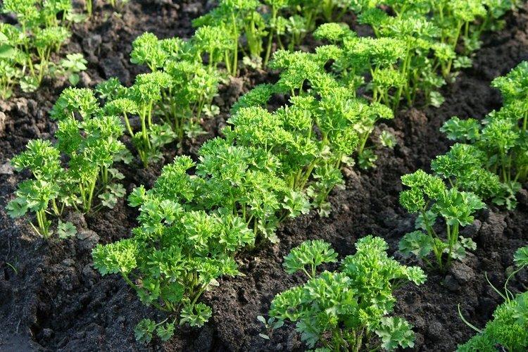 растение в открытом грунте