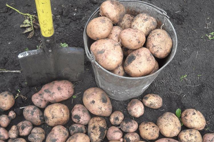 Картофель Жуковский - урожайность