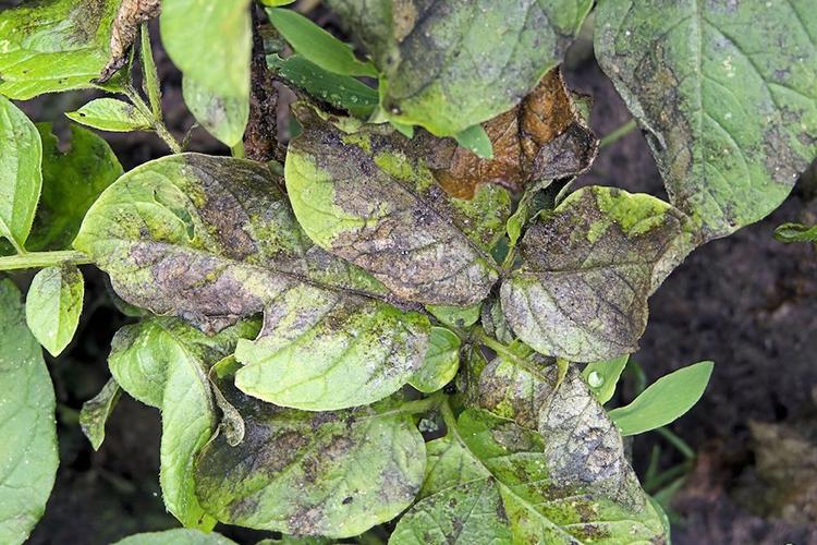 Фитофтороза на картофеле