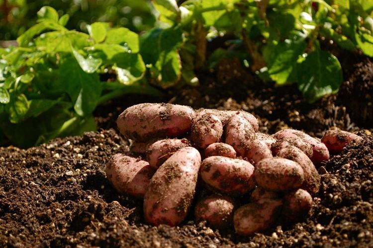 Достоинства и недостатки картофеля Жуковский