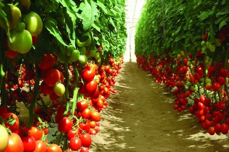 томаты для закрытого грунта