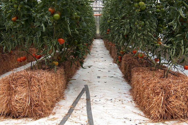 томаты на соломе