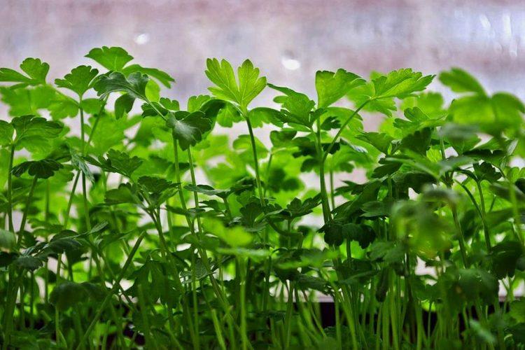 выращивание петрушки дома