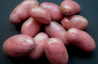 Описание сорта картофеля Беллароза