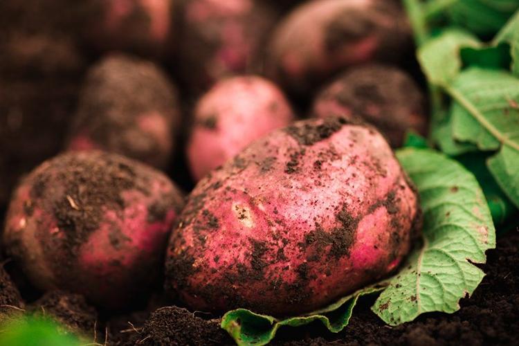 Плоды картофеля Беллароза