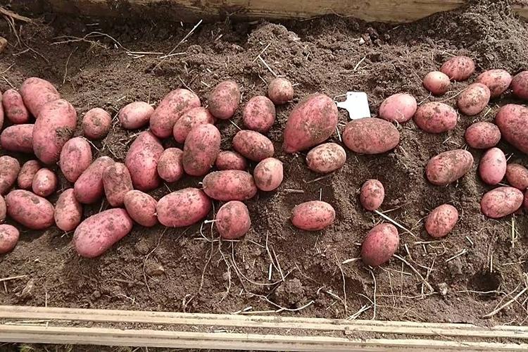 Урожайность картофеля Беллароза