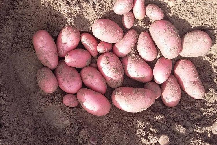 Достоинства и недостатки картофеля Беллароза