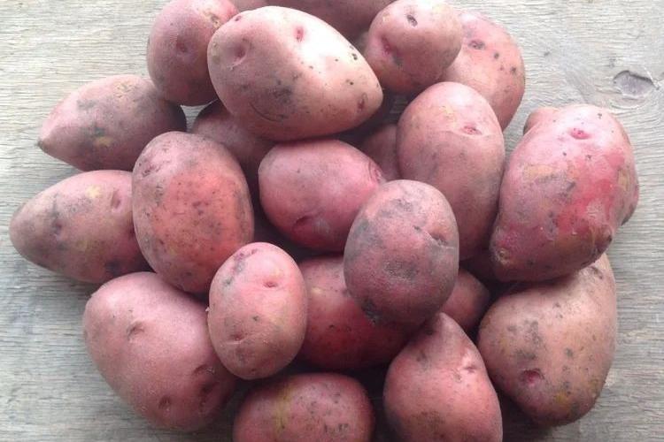 Характеристики картофеля Розара