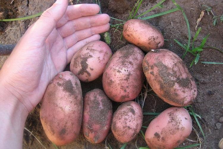 Урожайность картофеля Розара