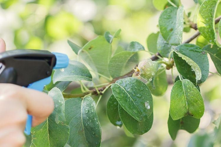 Опрыскивание деревьев на завязь плодов